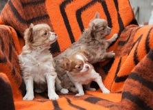 Cuccioli della chihuahua sulla spiaggia Immagine Stock Libera da Diritti