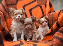 Cuccioli della chihuahua sulla spiaggia Fotografie Stock
