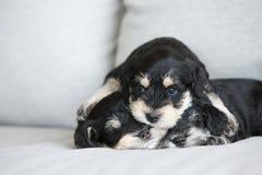 Cuccioli dello schnauzer Fotografie Stock Libere da Diritti