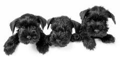 Cuccioli dello schnauzer miniatura fotografia stock libera da diritti