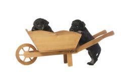 Cuccioli dello schnauzer miniatura Fotografia Stock