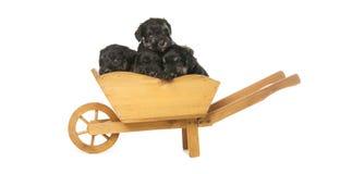 Cuccioli dello schnauzer miniatura Immagine Stock