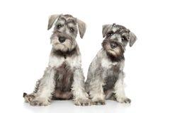 Cuccioli dello schnauzer miniatura su priorità bassa bianca immagini stock