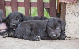 Cuccioli dello schnauzer standard Fotografie Stock