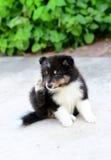 cuccioli dello sheltie che graffiano orecchio Fotografia Stock