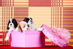 Cuccioli dello spaniel in un contenitore di regalo rosa Fotografie Stock