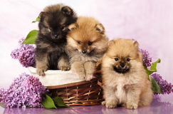 Cuccioli dello Spitz Fotografie Stock Libere da Diritti