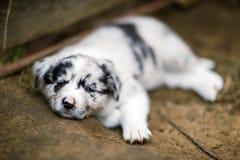 Cuccioli di border collie Fotografie Stock Libere da Diritti