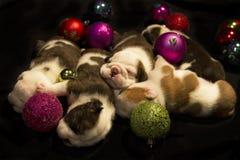 Cuccioli di Buldog per il Natale Fotografie Stock
