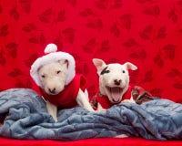Cuccioli di bull terrier che provano a sedersi ancora per una foto di festa Fotografia Stock Libera da Diritti