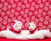 Cuccioli di bull terrier che si siedono per la loro foto di Natale Fotografie Stock Libere da Diritti