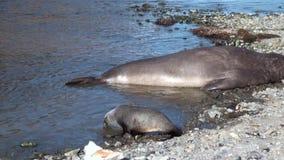 Cuccioli di foca con il padre sulla linea costiera di Falkland Islands