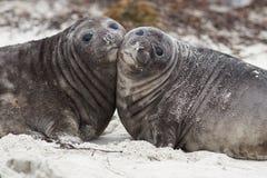 Cuccioli di foca dell'elefante - Falkland Islands Immagine Stock