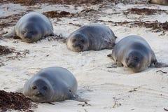 Cuccioli di foca dell'elefante - Falkland Islands Fotografia Stock