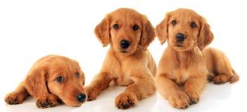 Cuccioli di golden retriever Immagine Stock Libera da Diritti