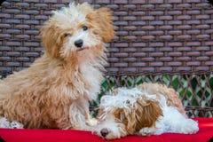 Cuccioli di Havapoo che posano su un banco immagini stock libere da diritti