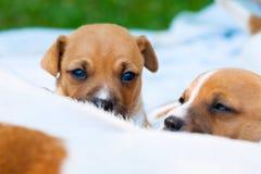 Cuccioli di Jack Russell del lattante Fotografia Stock Libera da Diritti
