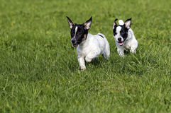 Cuccioli di Jack Russell Terrier Immagine Stock Libera da Diritti