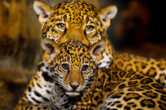 Cuccioli di Jaguar Fotografie Stock