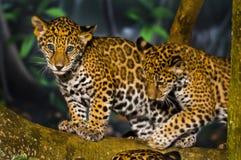 Cuccioli di Jaguar Immagini Stock