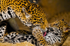 Cuccioli di Jaguar Fotografie Stock Libere da Diritti