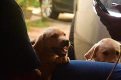Cuccioli di Labrador immagine stock