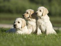 Cuccioli di Labrador Fotografie Stock Libere da Diritti
