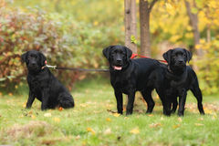Cuccioli di Labrador Fotografia Stock