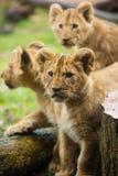 Cuccioli di leone Fotografia Stock