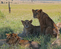Cuccioli di leone ai masai Mara, Kenya Immagini Stock Libere da Diritti
