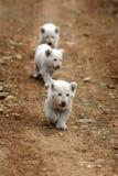 Cuccioli di leone bianchi nel Sudafrica Fotografia Stock Libera da Diritti