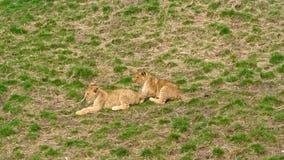 Cuccioli di leone che giocano e che corrono nel campo di erba video d archivio