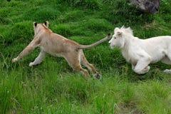 Cuccioli di leone che giocano fuori fotografia stock libera da diritti
