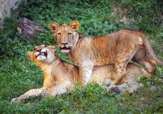Cuccioli di leone svegli fotografie stock
