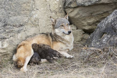 Cuccioli di lupo che si alimentano madre Fotografia Stock