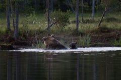 Cuccioli di orso bruno che nuotano nel lago in Finlandia Immagine Stock Libera da Diritti