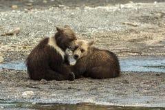 Cuccioli di orso bruno divertenti sulla riva del lago Kurile Fotografia Stock