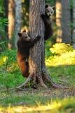 Cuccioli di orso bruno su un albero ad estate Immagini Stock Libere da Diritti