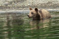 Cuccioli di orso bruno sulla riva del lago Kurile Fotografie Stock