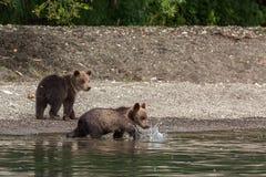 Cuccioli di orso bruno sulla riva del lago Kurile Immagine Stock Libera da Diritti