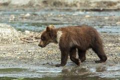 Cuccioli di orso bruno sulla riva del lago Kurile Fotografia Stock