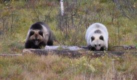 Cuccioli di orso Finlandia Immagine Stock