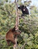 Cuccioli di orso nero americani immagini stock