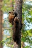 Cuccioli di orso sull'albero Immagini Stock