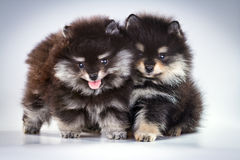 Cuccioli di Pomeranian Immagini Stock Libere da Diritti