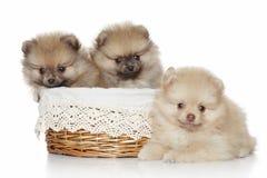 Cuccioli di Pomeranian in cestino di vimini fotografia stock