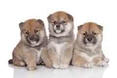 Cuccioli di Shiba-inu Immagine Stock