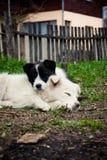 Cuccioli di sonno Fotografia Stock Libera da Diritti