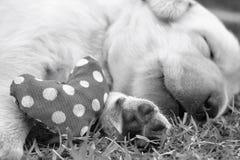Cuccioli di sonno labrador su erba verde Immagini Stock