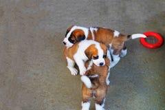 Cuccioli di St Bernard che giocano nella fossa di scolo Martigny di allevamento Immagine Stock